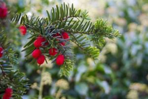 Holly & Spruce